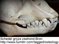 Schedel grijze zeehond. Bron: http://www.tumblr.com/tagged/osteology