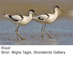 Kluut. Bron: Migra Tagis. Shorebirds Gallery