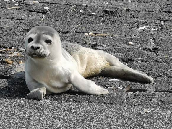 Young harour seal. Photo: AB