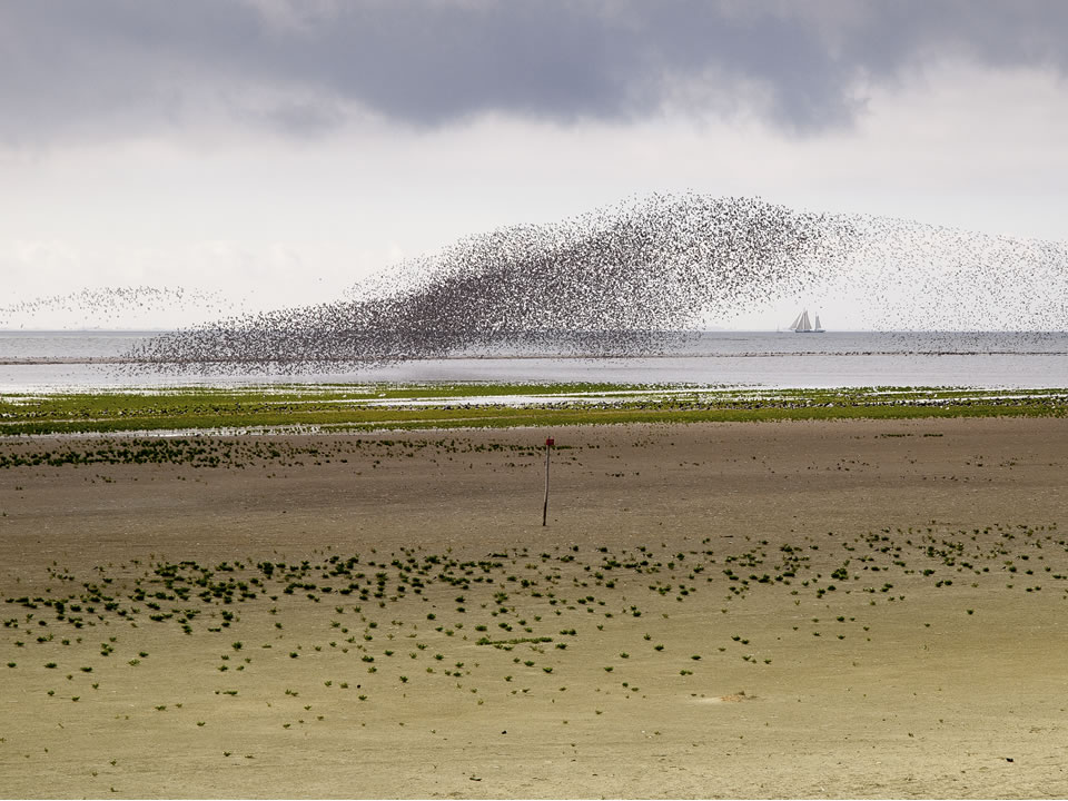 A Flock of birds above a mudflat in the Dutch Wadden Area. Photo: Jan Huneman