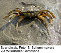 Strandkrab, Foto: B. Schoenmakers via Wikimedia Commons.