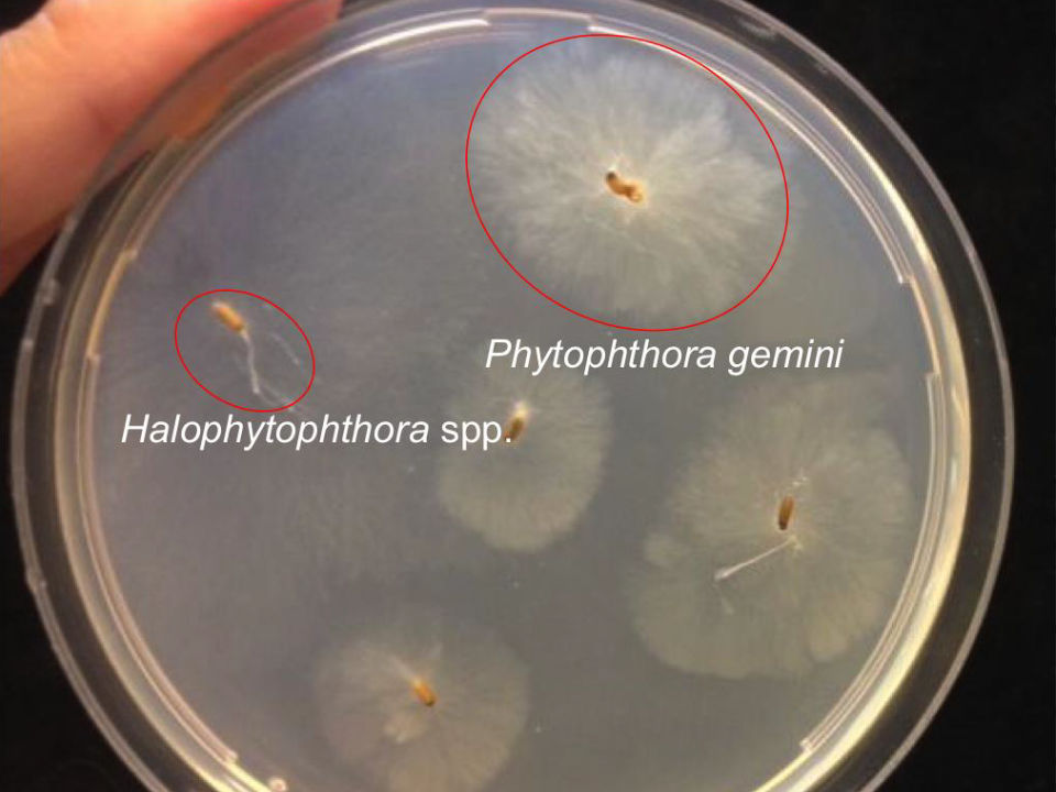 Phytophthora's (bron Van der Zee e.a., 2016)