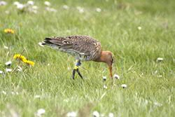 [Translate to english:] Grutto. Foto: Rosemarie Kentie.