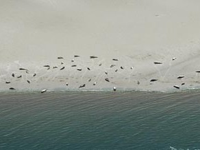 Aerial view of seal counts. Foto: Salko de Wolff Ecomare.